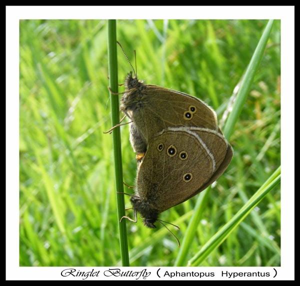 Ringlet Butterflies by Jolind