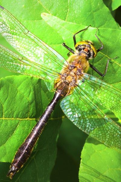 Downy Emerald Dragon Fly by Sloman