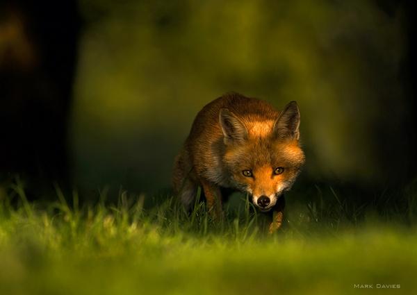 dappled light fox by Enmark