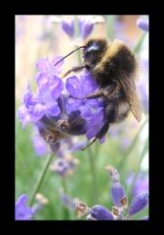 Buzzing lavender 2