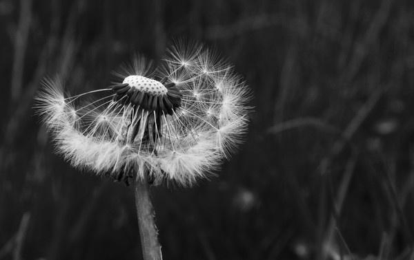 Dandelion by Radders3107