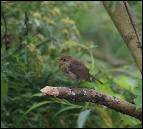 juvenile robin by alianar