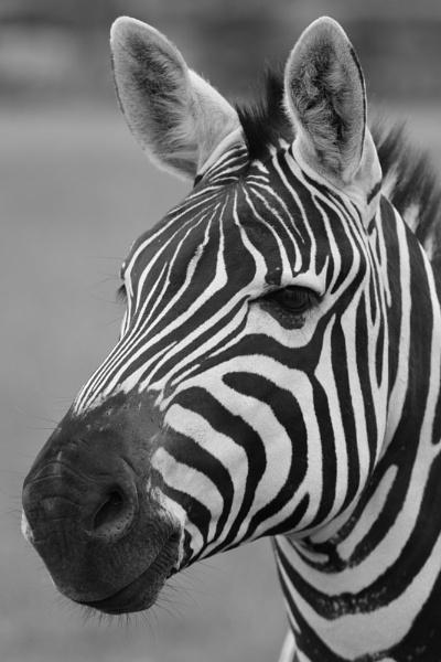 Zebra by striker1998