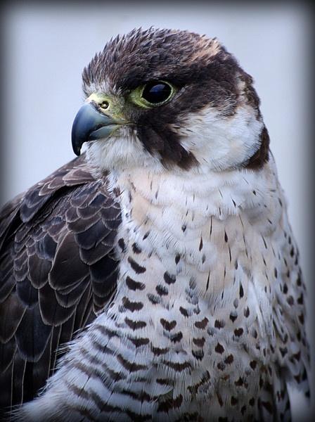 falcon by Jacaro