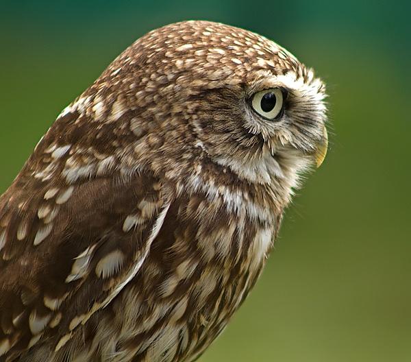 Little Owl by Clint123