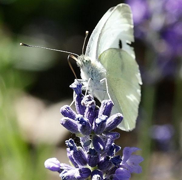 White Butterfly by jon1169
