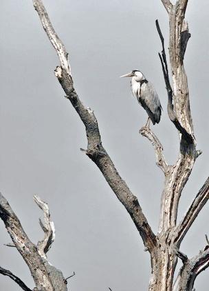 Lone heron by zwierzanski