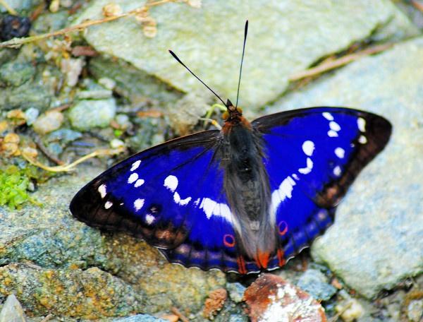 blue tones - Apatura iris - Purple Emperor by gabriel_flr