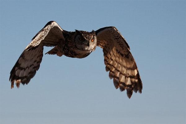 Cape eagle owl by Schaune