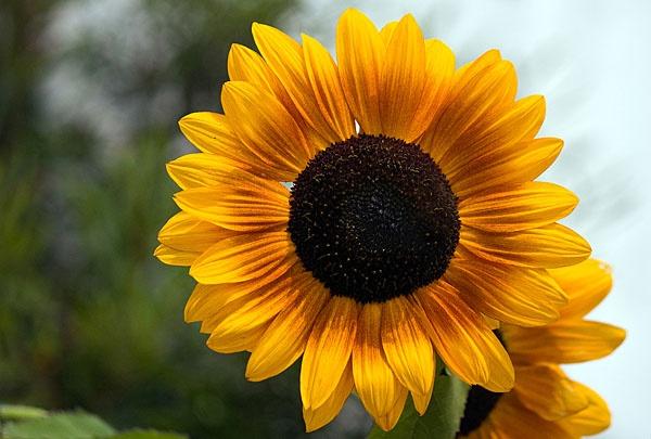 Sunflower at Kew by pfairhurst
