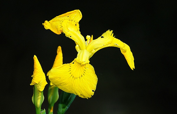 Yellow Iris by mike
