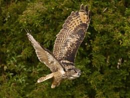 Eagle Owl_2
