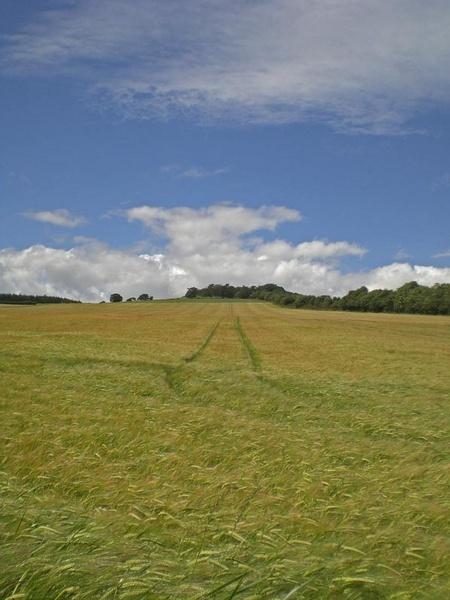 barley tramlines by simbo76