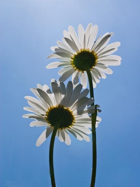 Daisy Daisy by Juliee
