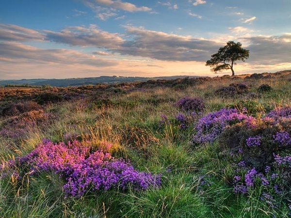 First heather by g0wex