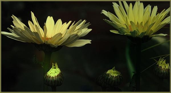 Leucanthemum by Suehh