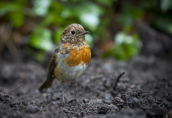Robin by brianquinn