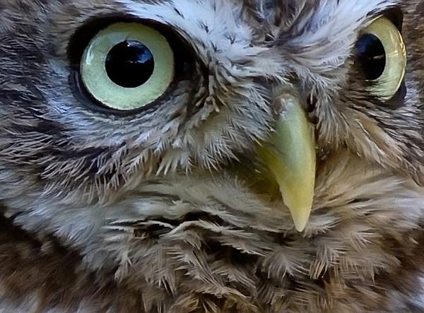 Little Owl ... Eyes ! by colmar