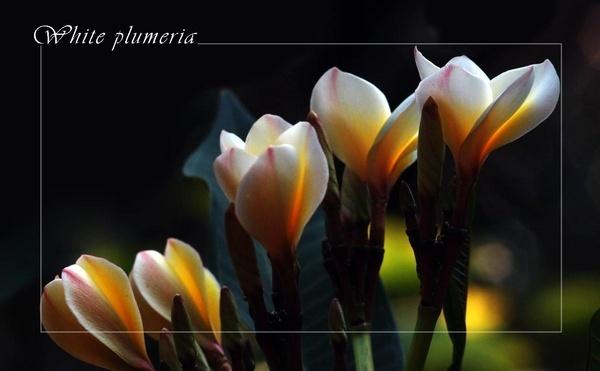 White plumeria by mgraj