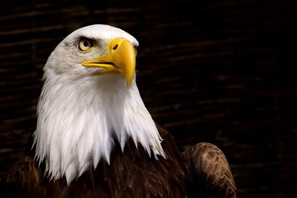 Bald Eagle by Tonksfest