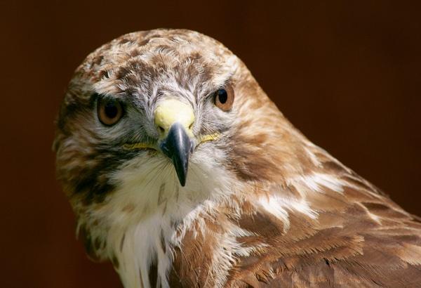 Hawk by Tonksfest