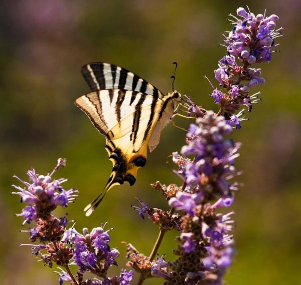 Scarce Swallowtail by Scutter