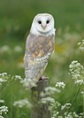 Barn Owl (c) by SurreyHillsMan