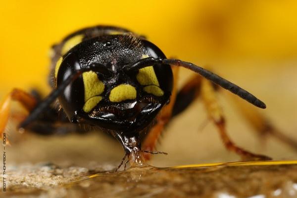 rare wasp feeding by macro-junkie