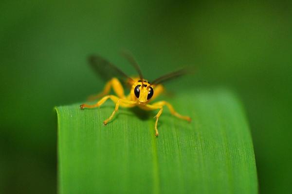 Small Yellow Wasp by konu
