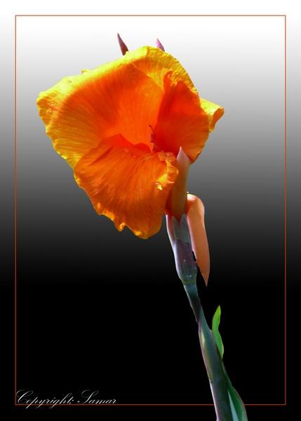 Orange Canna 2nd by samarmishra