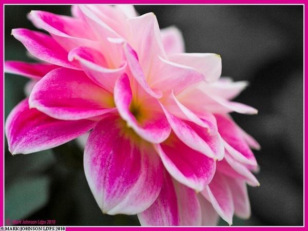 Dahlia by PhotoMorph