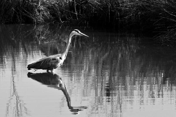 Heron fishing by jrpics