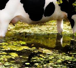 h2o Cow