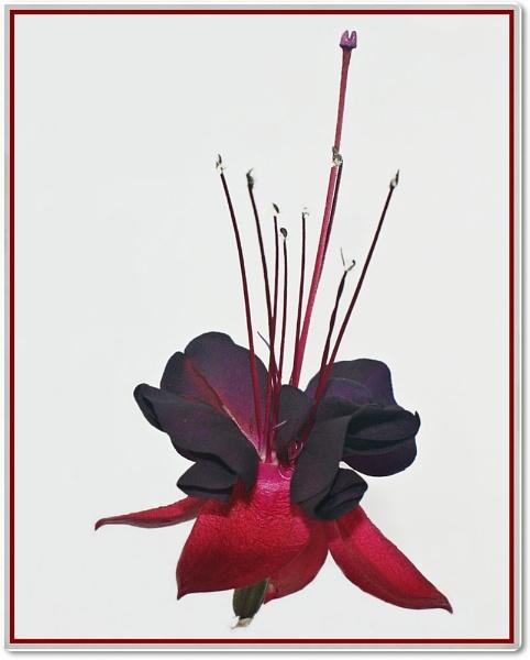 Black fushia by cedaray