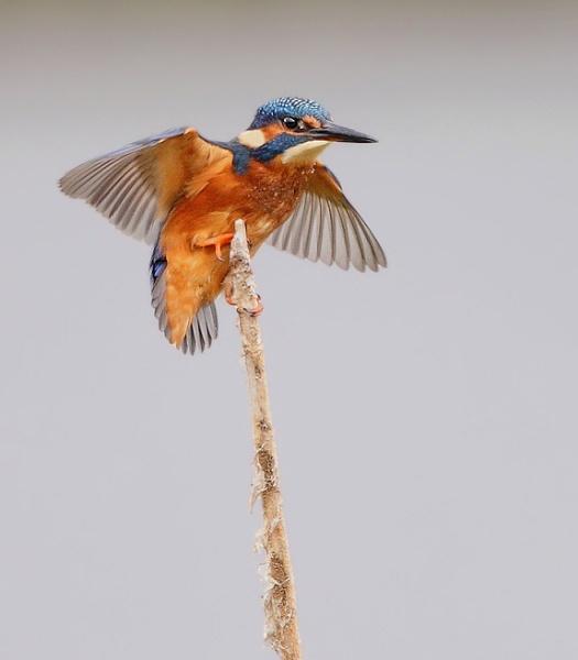 Kingfisher by Karen_Summers