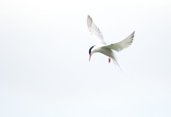 White Common Tern by Emmog