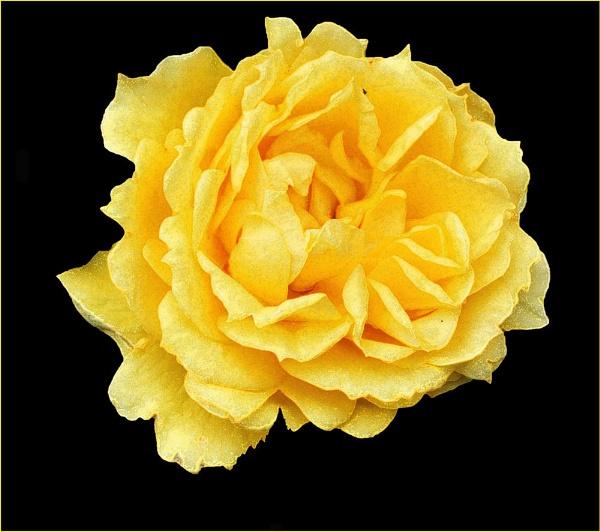 ONLY A ROSE by JOKEN