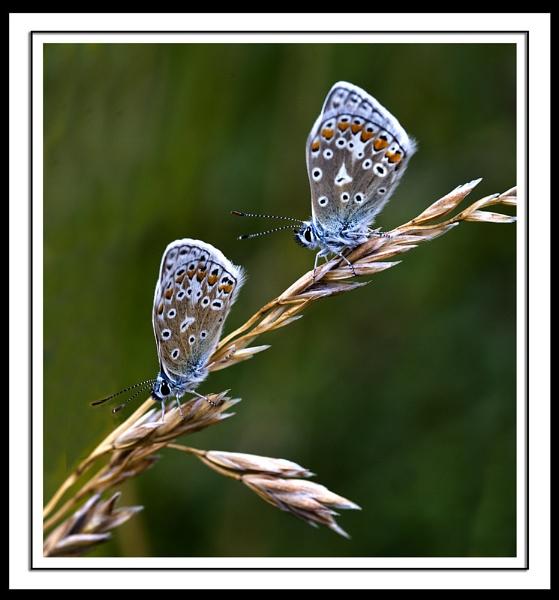 Blue Butterflies by paddyman