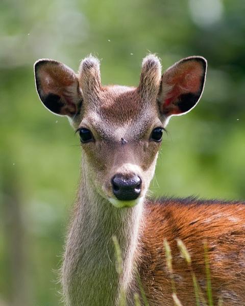 Sika Deer 1039 by canonfan46