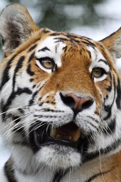 Soundari the Amur Tiger by striker1998