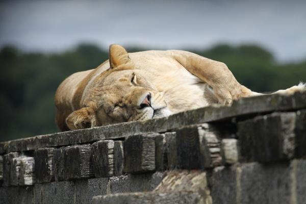 Sleepy Lion by striker1998