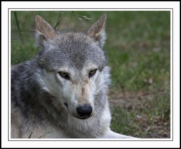 Wolf by striker1998