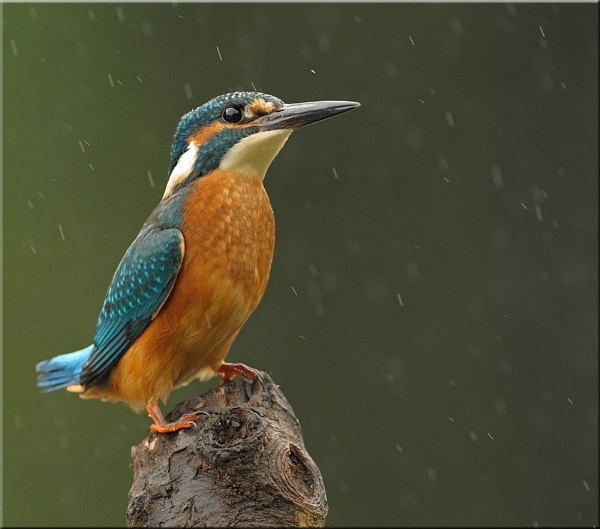 KINGFISHER In The Rain by WindowonWildlife