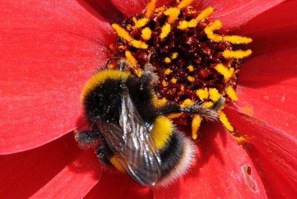Macro Bee by ChrisB53
