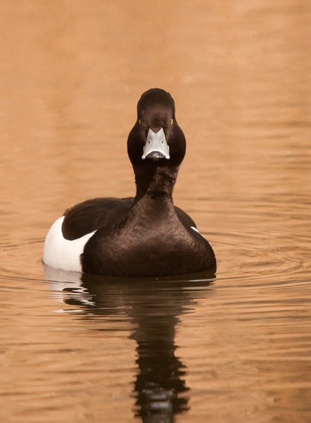 Tufted Duck by dewie
