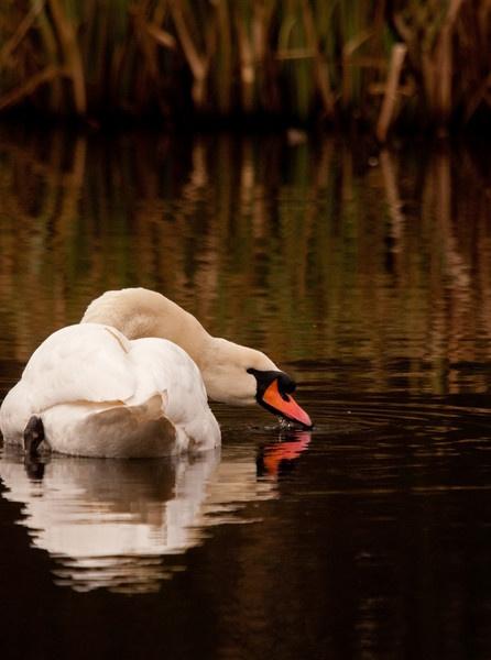 Mute Swan by dewie