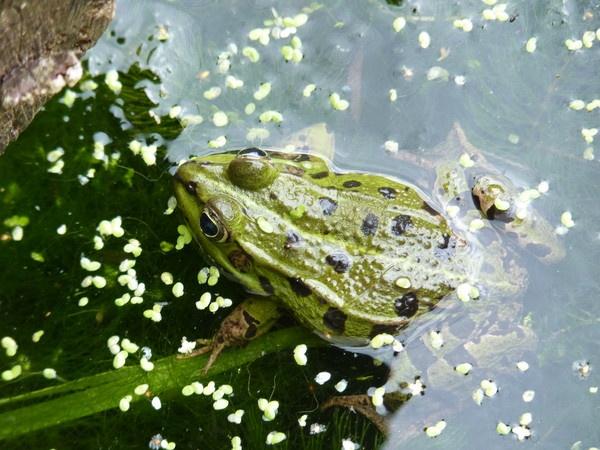 Green Frog by CallumThomas