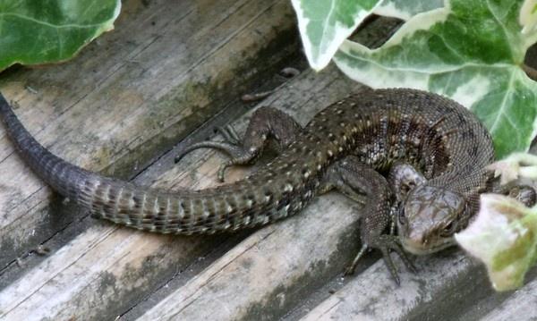 Lizard by kibp