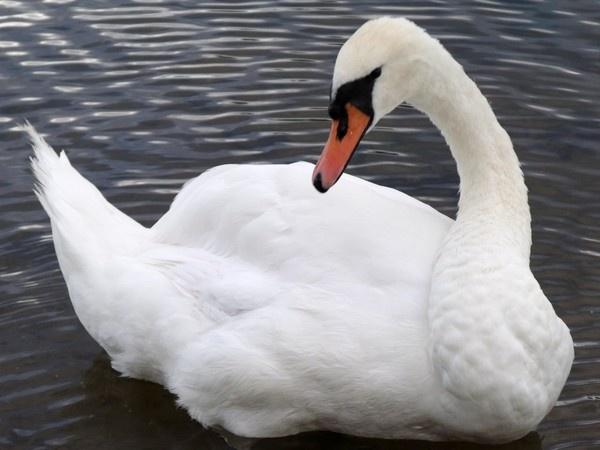 swan by kibp