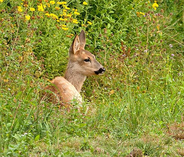 Roe Deer by Clint123